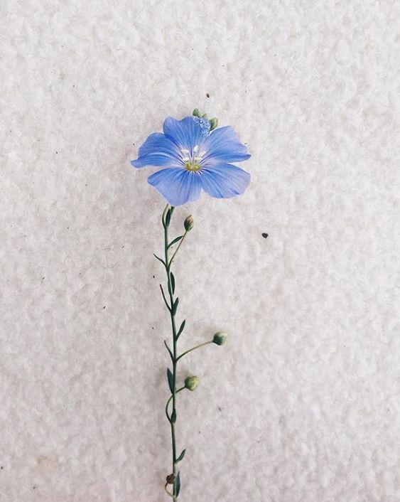 1. La tige de la fleur de lin mesure 80 à 120 cm. Pour atteindre cette taille, il suffit seulement de cent vingt jours à la plante. Généralement autour du 15 juin, une fragile fleur de couleur mauve, bleue, blanche ou rose pâle sort le bout de sa tête. Cependant, le lin est récolté un mois plus tard, une fois que la couleur de la fleur vire au jaune.